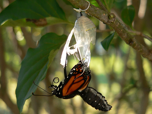 Image result for picture of butterfly coming out of cocoon