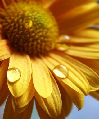 sunflowers with dewdrops